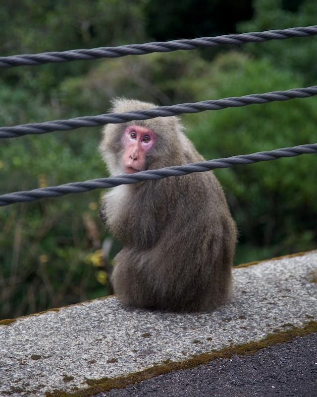 yakushima monkey