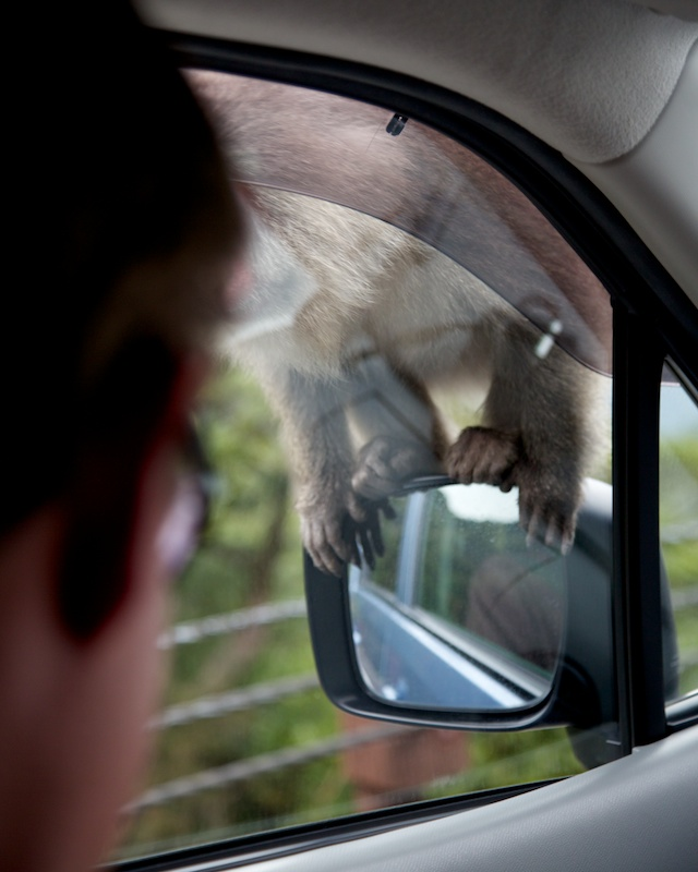 monkey on the car
