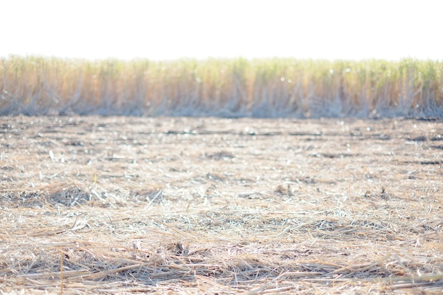 tanegashima field